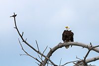 A crow sits on a branch taunting the larger Bald Eagle.  The eagle merely looked at him, ignoring his taunts. - Nebraska Wildlife Photograph