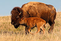 A buffalo calf and bull graze on the vast prairie at Ft. Niobrara National Wildlife Refuge. - Nebraska Photograph