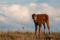 Ft. Niobrara National Wildlife Refuge in north central Nebraska is home to a group of American Buffalo that roam about the large expanse of land.  This is a spring calf who stopped to watch me as I photographed him.  Curious, but under the watchful eye of his father. - Nebraska Photograph