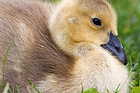 A single gosling rests in the afternoon shade in eastern Nebraska. - Nebraska Photograph