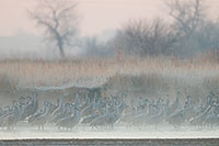 On a cool, foggy March morning a group of Sandhill Cranes wait on a sandbar in the Platte River. - Nebraska Photograph