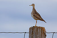 An Upland Sandpiper watches from high on a post at Ft. Niobrara National Wildlife Refuge. - Nebraska Photograph