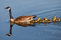 A Canada Goose mother takes her goslings on a swim across the lake. - Nebraska Photograph