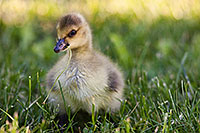 A newly hatched gosling chews on some verdant grass. - Nebraska Photograph