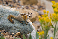 A chipmunk stops very briefly and looks around for his next meal at Rocky Mountain National Park, Colorado. - Colorado Wildlife Photograph