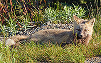 While driving down from Paradise in Mt. Rainier National Park, I came across three fairly young gray foxes playing.  When I stopped, the other two hid, but this one stayed and posed for me. - Wildlife Photograph
