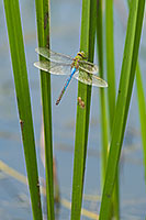 A dragonfly hangs out on a pond in central Iowa. - Iowa Photograph
