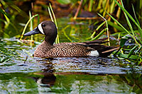 A Blue Teal swims in a marsh created in a valley between large formation of sandhills in Cherry County, Nebraska. - Nebraska Photograph