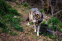 A wolf patrols looking for a bite to eat. *Captive* - Nebraska Photograph