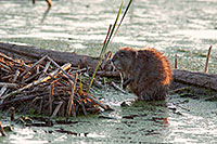 A muskrat works on his den at Jack Sinn Wildlife Management Area in Eastern Nebraska. - Nebraska Photograph