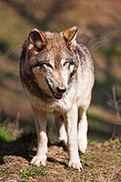 A wolf stops briefly while scavenging for food. *Captive* - Nebraska Photograph