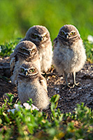Four burrowing owl chicks watch quietly outside their home in a prairie dog town in Badlands National Park, South Dakota. - South Dakota Wildlife Photograph