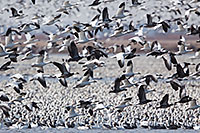 A group of snow geese take to the sky at Squaw Creek National Wildlife Refuge in Missouri.  There were over 1 million birds on the lake on this day. - Missouri Photograph