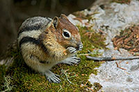 A Chipmunk Eating a Handout for lunch.  Many chipmunks line the trails around Banff National Park, always looking for a handout. - 777 Photograph
