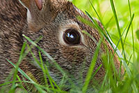 A rabbit hides in the thick grass. - Nebraska Photograph