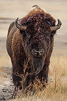 A buffalo slowly meanders across the prairie at Badlands National Park in South Dakota. - South Dakota Wildlife Photograph