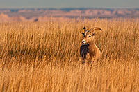 A bighorn sheep in tall prairie grass the Badlands in South Dakota. - South Dakota Photograph