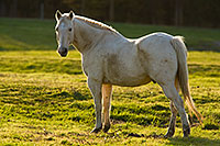 A stallion poses for a quick shot will eating dinner at Mahoney State Park, Nebraska. - Nebraska Photograph
