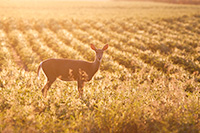 A deer stops briefly in the late afternoon sun at DeSoto National Wildlife Refuge. - Nebraska Photograph