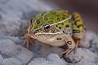 A Plains Leopard Frog emerges from a small puddle formed from the recent rains. - South Dakota Photograph