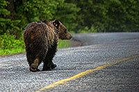 When I was coming back from photographing the sunrise on Lake Moraine, this fellow joined me on the road. - Canada Photograph