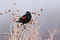 A red-winged blackbird briefly stops chriping and rests in a field near Grand Island, Nebraska. - Wildlife Nebraska Photograph