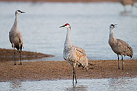 A Trio of Sandhill Cranes convene on a sandbar on the Platte River in Central Nebraska. - Nebraska Photograph