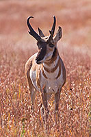 A pronghorn (american antelope) stands in prairie grass at Wind Cave National Park in Southwestern South Dakota. - South Dakota Photograph