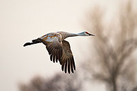 A Sandhill Crane soars high above the Platte River in the early morning just prior to sunrise. - Nebraska Photograph