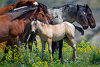 A young foal with a group of other wild horses at Theodore Roosevelt National Park in North Dakota. - North Dakota Wildlife Photograph