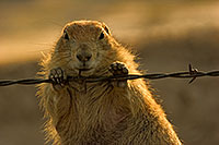 A prairie dog chews on a barbed wire fence. - South Dakota Photograph