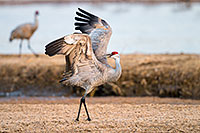 A Sandhill Crane displays on the Platte River in Central Nebraska. - Nebraska Photograph
