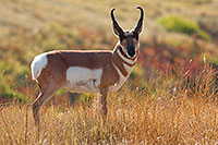 A not very timid pronghorn (american antelope) stops briefly on the crest of a hill on a autumn afternoon on the border of Custer State Park and Wind Cave National Park in South Dakota. - South Dakota Photograph
