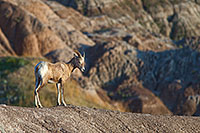 A bighorn sheep looks out across the Badlands in South Dakota. - South Dakota Wildlife Photograph