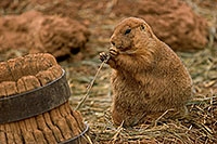 A Prairie Dog enjoys his lot in life. *Captive* - 777 Photograph