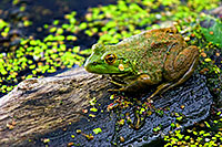 A frog on log a common sight at Nebraska Ponds. - Nebraska Photograph