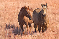 Two horses relax together on a cool afternoon on a prairie in Keha Paha county. - Nebraska Photograph