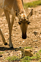 A pronghorn finds a priaire dog friend in the field at Custer State Park in southwestern South Dakota. - South Dakota Photograph