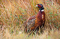 For a brief moment this fiesty pheasant come out of the grass and revealed himself before quickly ducking back. - Nebraska Photograph