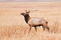 A bull elk struts on the plains at Ft. Niobrara National Wildlife Refuge. - Nebraska Photograph