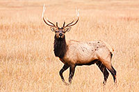 A bull elk pauses momentairly on the plains at Ft. Niobrara National Wildlife Refuge. - Nebraska Photograph