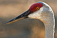 Sandhill cranes are a common sight in western Nebraska in the early spring and late fall. *Captive* - Nebraska Photograph