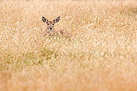 A small doe rests in the grass at Smith Falls State Park in eastern Cherry county, Nebraska. - Nebraska Photograph