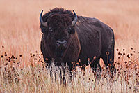 A buffalo (bison) waits quietly in a prairie at Ft. Niobrara National Wildlife Refuge. - Nebraska Photograph