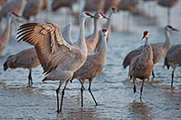 A Sandhill Crane puffs his chest and spreads his wings to impress a potential mate on the Platte River in central Nebraska. - Nebraska Photograph