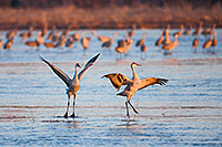 Two Sandhill Cranes Dance on a sandbar in the middle of the Platte River in the warm morning sun in early April. - Nebraska Photograph