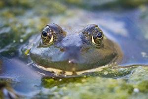 A frog peeks out from one of the ponds at Schramm State Recreation Area, Nebraska. - Nebraska Photograph