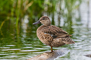 A mallard female sits on a log on a small pond deep in the Sandhills of Nebraska. - Nebraska Photograph