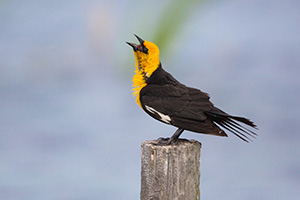 A Yellow-headed Blackbird sings his sweet song deep in the Sandhills of Nebraska. - Nebraska Photograph