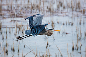 A great blue heron silently glides above the marsh at Squaw Creek National Wildlife Refuge (Loess Bluffs). - Missouri Photograph